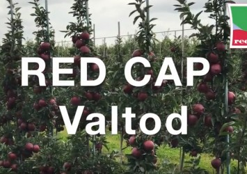 Red Cap® Valtod mutant odmiany Red Delicious